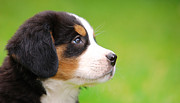 Bernese Photos - Portrait of Bernese mountain dog by Michal Bednarek