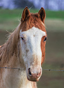 Quarter Horses Posters - Portrait Of Bud A Quarter Horse Poster by Photo Captures by Jeffery