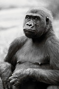 Angela Rath - Portrait of Gorilla -...