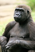 Angela Rath - Portrait of Gorilla
