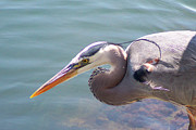 Wildlife - Portrait Of Great Blue Heron by Ben and Raisa Gertsberg