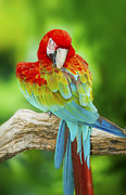Scarlet Macaw Prints - Portrait of Macaw Print by Anek Suwannaphoom