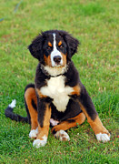 Bernese Photos - Portrait of puppy Bernese mountain dog  by Michal Bednarek