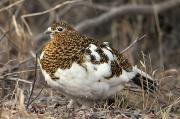 Ptarmigan Prints - Portrait Of Willow Ptarmigan Female Print by Doug Lindstrand