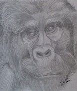 Pencil On Canvas Metal Prints - Portrait Silverback Mountain Gorilla  Metal Print by Melissa Nankervis