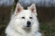 Portrait White Samoyed Dog Print by Dog Photos
