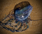 Chanda Henne Posters - Portuguese Man OWar Poster by Chanda Henne