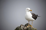 Haze Photo Posters - Posed Gull Poster by Anne Gilbert