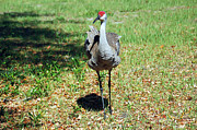 Cranes In Florida Framed Prints - Posing Framed Print by Aimee L Maher
