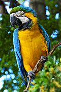 Amazone Posters - Posing Blue and Yellow Macaw Poster by Bibi Romer
