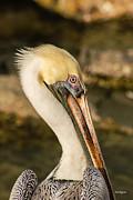 Allen Sheffield - Posing Pelican
