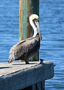 Dock Metal Prints - Posing Pelican Metal Print by Carol Groenen
