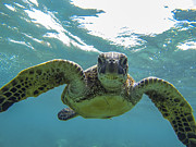 Sealife Posters - Posing Sea Turtle Poster by Brad Scott