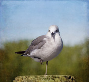 Kim Photo Framed Prints - Posing Seagull Framed Print by Kim Hojnacki