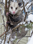 Possum Print by Steven Ralser