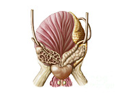 Urethra Digital Art - Posterior View Of Urinary Bladder by Stocktrek Images