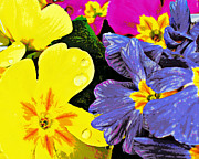 Heidi Manly - Posterized Primula...