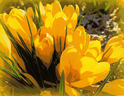 Heidi Manly - Posterized Yellow Croci