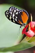 Saija  Lehtonen - Postman Butterfly on a Flower
