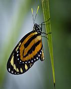 Saija  Lehtonen - Postman Butterfly