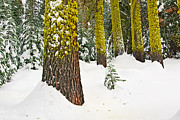 Christmas Holiday Scenery Art - Potential - Winter scene of Badger Pass in Yosemite National Park by Jamie Pham
