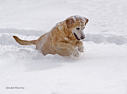 Happy Labrador Prints - Pounce Print by Gerald Marella