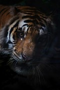 Powerful Animal Pyrography Framed Prints - Power Of Tiger Framed Print by Chaivit Chana