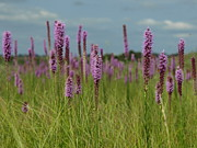 Peterson Nature Photography Prints - Prairie Blazing Stars Print by Melissa Peterson
