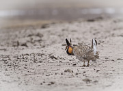 Buena Vista Grasslands Prints - Prairie Chicken 2013-1  Print by Thomas Young