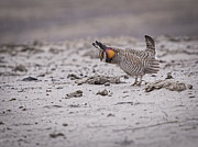 Buena Vista Grasslands Prints - Prairie Chicken 2013-4 Print by Thomas Young