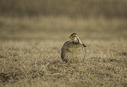 Buena Vista Grasslands Prints - Prairie Chicken 2013-5 Print by Thomas Young