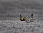 Buena Vista Grasslands Prints - Prairie Chicken 2013-6 Print by Thomas Young