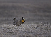 Buena Vista Grasslands Prints - Prairie Chicken 2013-7 Print by Thomas Young