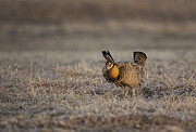 Buena Vista Grasslands Framed Prints - Prairie Chicken-8 Framed Print by Thomas Young
