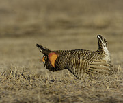 Matting Photo Framed Prints - Prairie Chicken-9 Framed Print by Thomas Young