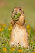 Marie Read - Prairie Dog Eats Plants