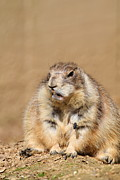 Dog Photo Prints - Prairie Dog - National Zoo - 011310 Print by DC Photographer