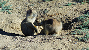 Prairie Dogs Prints - Prairie Dogs Print by David Bearden