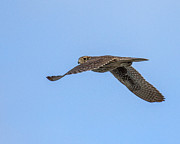 South Padre Island Texas Posters - Prairie Falcon Fly By Poster by Danny Pickens
