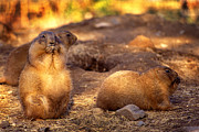 Prairie Dogs Prints - Prairie family Print by Paul W Faust -  Impressions of Light