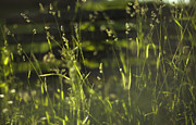 Depth Of Field Prints - Prairie Grass 1 Print by Scott Norris