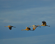 Crane Migration Prints - Prairie Morning Print by Tony Beck