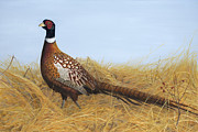Pheasant Paintings - Prairie Splendor by Tammy  Taylor