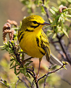 Lloyd Alexander-Pictures for a Cause - Prairie Warbler