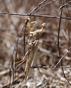 Susan Wiedmann - Praying Mantis Blending In