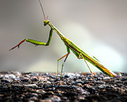 Ground Prints - Praying Mantis  Print by Bob Orsillo