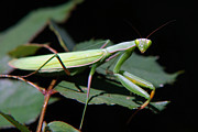Creatures Digital Art Acrylic Prints - Praying Mantis Acrylic Print by Christina Rollo