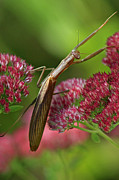 Praying Mantis Photos - Praying Mantis Climbing up Sedium Flower by Inspired Nature Photography By Shelley Myke