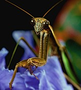 Lizards Posters - Praying Mantis  Closeup Portrait 3  on Iris Flower Poster by Leslie Crotty