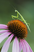 Mantid Prints - Praying Mantis - D008022 Print by Daniel Dempster